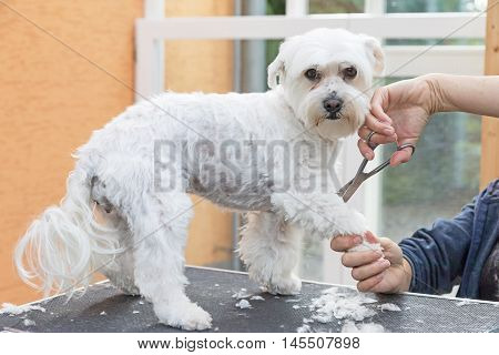 Grooming front leg of standing white Maltese dog. The dog is standing with a raised paw on the grooming table and is looking at the camera.
