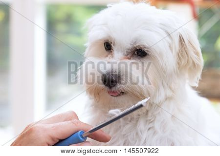 Combing beards of the white Maltese dog. The cute dog is looking at the camera