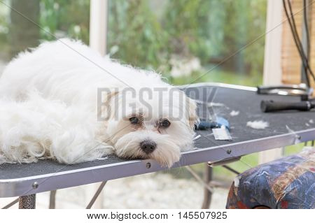 Sad and lonely white Maltese dog is lying next to pile of hair on the grooming table.