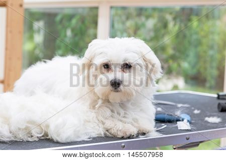 White Maltese dog is lying next to pile of hair on the grooming table and is looking at the camera.
