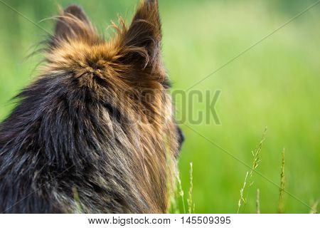 German shepherd dog long-haired turned back from camera