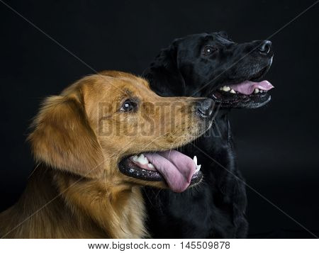 Golden Retriever and Labrador Retriever in the studio