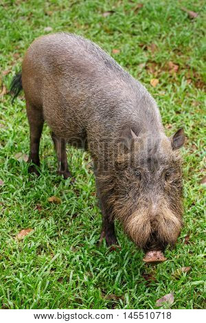 Bornean bearded pig in Bako National Park, Borneo, Malaysia