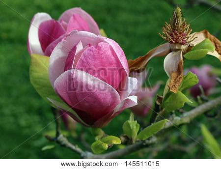 Detail of the bloom of magnolia tree