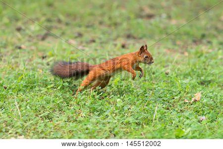 Red Squirrel Running Through The Woods. Sciurus Vulgaris.