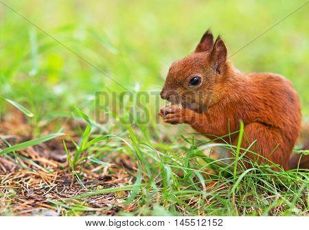 Red Squirrel Eating Hazelnut. Sciurus Vulgaris. Space For Text.