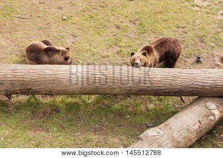 Two brown bears on tree trunk, Ursus arctos