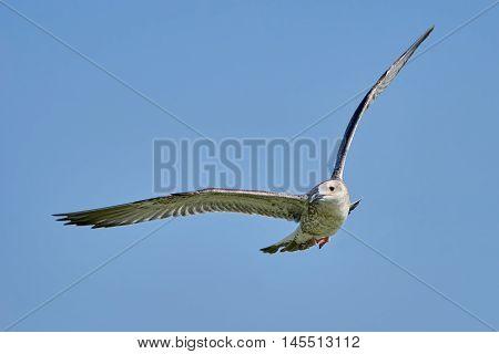 Common gull in flight against the blue sky