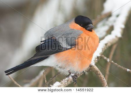 A male of bullfinch in winter  (Pyrrhula pyrrhula)