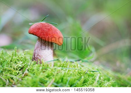 Aspen mushroom or orange-cap boletus in the autumn forest moss, shallow depth of field.