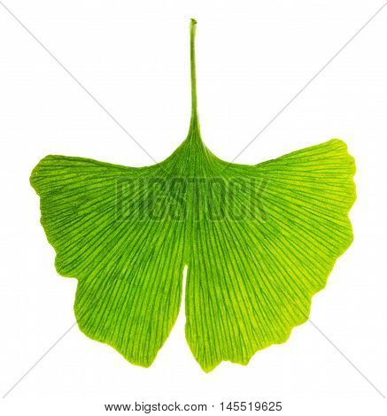 Translucent ginkgo biloba leaf in transmitted light. Light passes through a Ginkgo leaf. Also maidenhair tree, in the division Ginkgophyta. Used in medicine. Isolated macro photo close up from above.