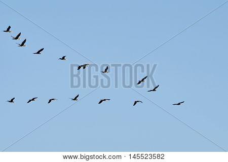 Flock of cormorants flying wedge against the blue sky