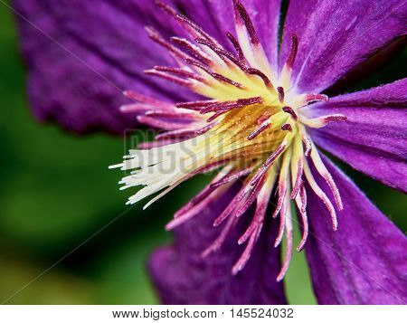 Closeup purple clematis flower in the garden