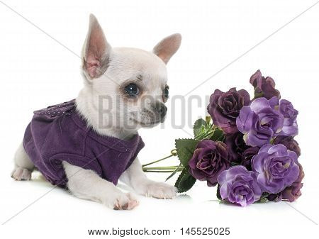dressed young chihuahua in front of white background