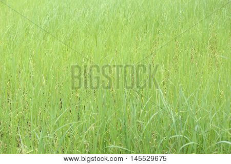 Green rice plant in farmland at rural for nature designs background.
