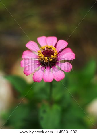 Zinnia elegans or common zinnia or youth-and-age