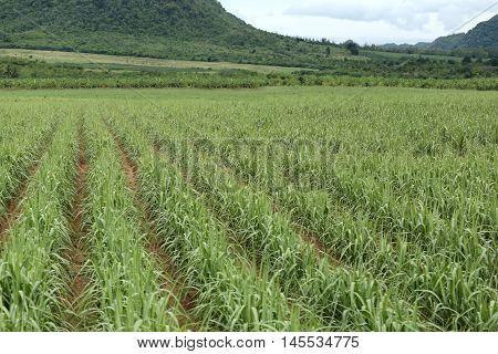 Rural farmland to grow sugarcane in Kanchanaburi at Thailand.