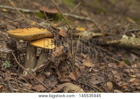 autumnal foraging background with edible mushrooms in forest