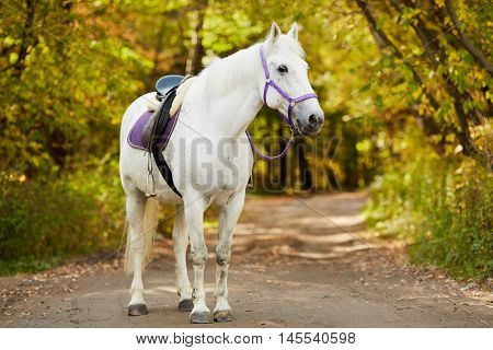 White bridled horse with saddle walks by alley in park.