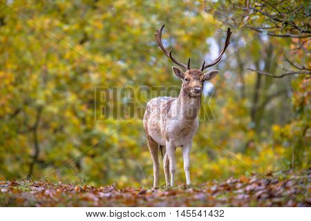 Male Fallow Deer In Autumn Colors