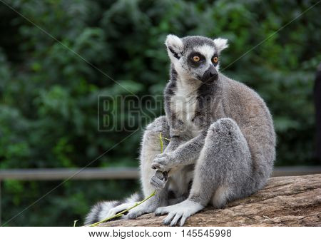 Ring-tailed lemur (lemur catta). Wild nature. Copy space