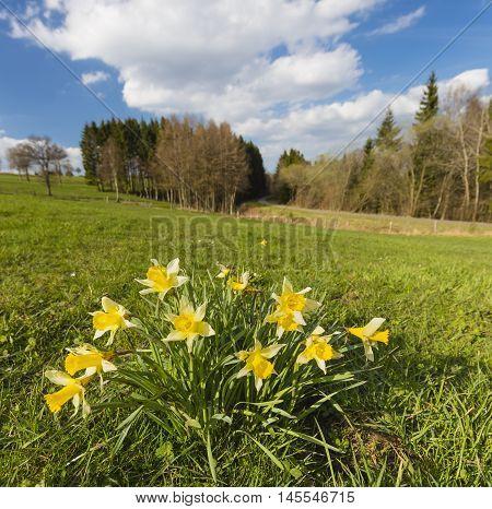 Daffodils On Meadow In The Eifel, Germany