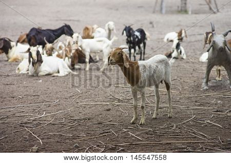 Portrait Of Goat On A Ground Field With Many Goat In Blurred Background,selective Focus,filtered Ima