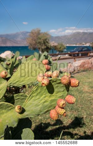 Prickly pear cactus with fruits called also Opuntia ficus-indica Indian fig opuntia barbary fig tuna growing near to the sea in the summer time. Fruits of prickly pear cactus. Vertical. Close.