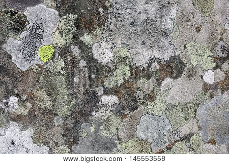 Lichens with crustose thalli in muted tones of white, grey, yellow, and brown growing on textured churchyard gravestone in Hawkshead, England.