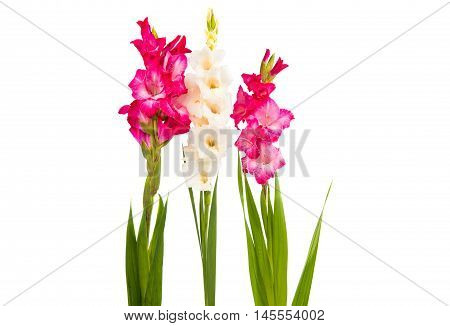 Gladiolus decorative flower on a white background