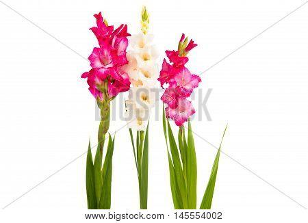 Gladiolus decorative flower on a white background