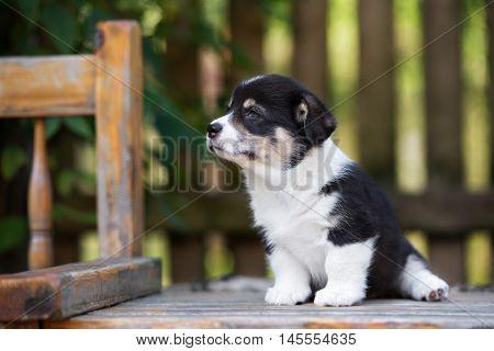 adorable tricolor welsh corgi puppy portrait outdoors