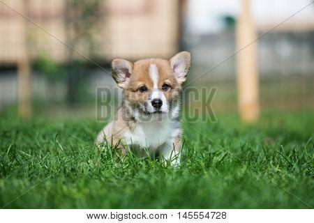 adorable red welsh corgi pembroke puppy portrait