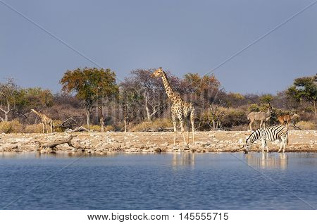 Group of wild animals near a waterhole in the Etosha National Park in Namibia; Concept for travel in Africa and safari