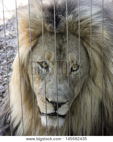 An Alert Lion Peers Out Through the Bars of His Zoo Enclosure
