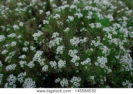 small white flowers in the flowerbed. a lot of white flowers