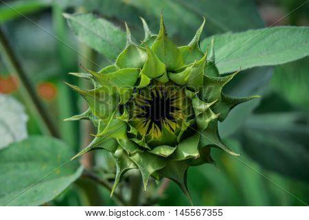 Green sunflower. Sunflower not yet blossomed. sunflower bud