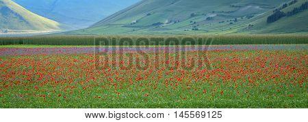 Castelluccio di Norcia (Umbria) colorful blooming landscape
