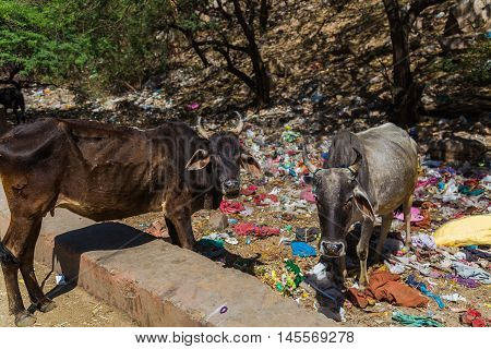 JAIPUR INDIA - 23RD MARCH 2016: Skinny cows standing amongst garbage at the side of a road.