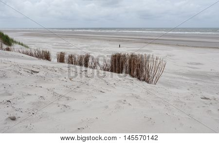 Brown marram grasses blowing in the wind along the coast of Ameland in the Waddenzee