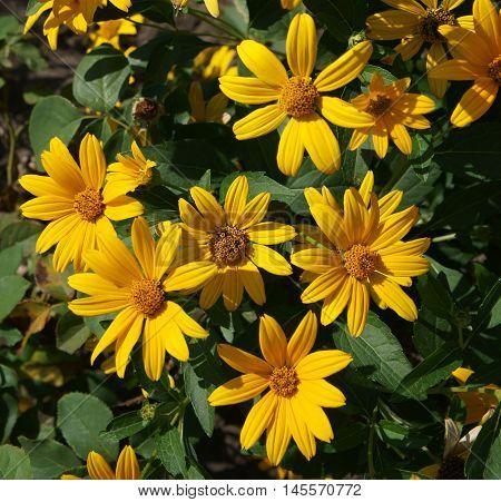Cutleaf coneflower (rudbeckia) yellow flowers on a sunny day.