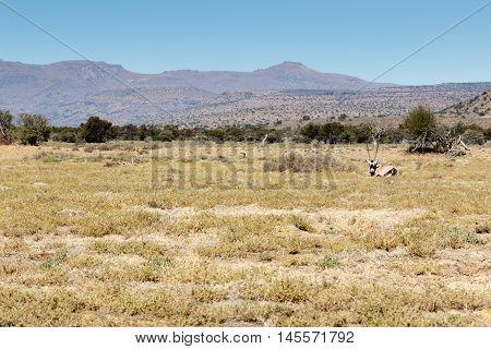 Gemsbok Oryx -  Mountain Zebra National Park