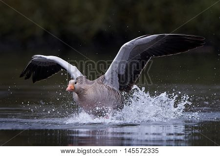 Greylag goose (Anser anser) with open wings taking off from water