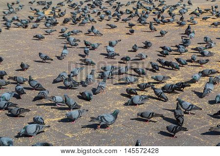 Large amount of Pigeons eating in an open square in India