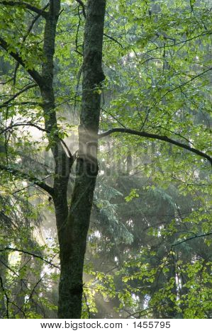 Beams Of Light Entering Hazy Forest
