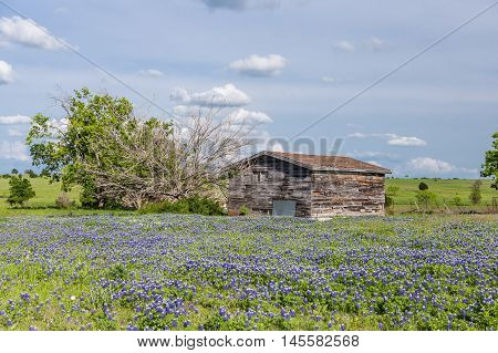 bluebonnet field in countryside of Ennis Texas