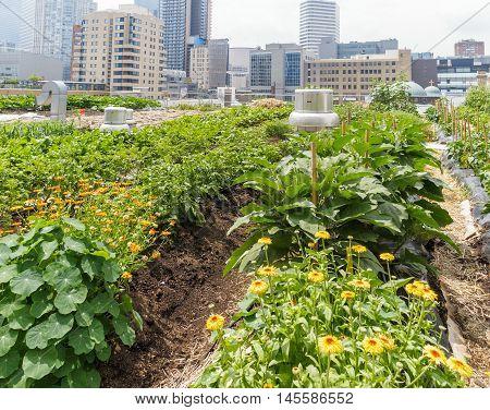 Urban Farm: Growing vegetables on roof of urban building