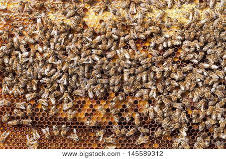 Bees Natural beebread in honeycombs ambrosia apitherapy nutritional.