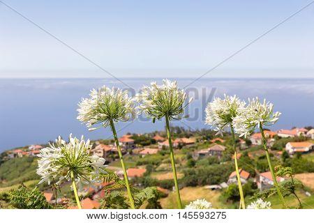 Group of white agapanthus near village at coast