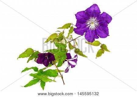 Purple Clematis Flower Isolated on White Background Studio Photo
